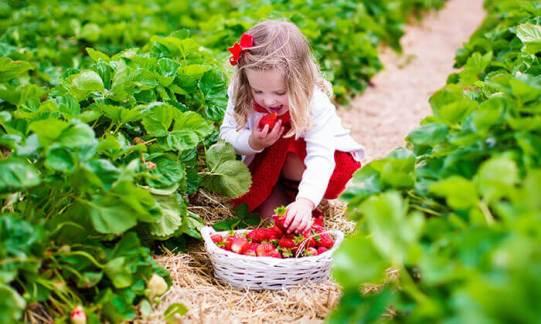 קטיף תותים.jpg